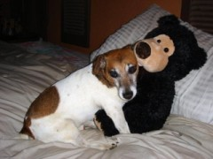 jack russell terrier pic