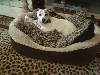 JRT on her  bed leopard print