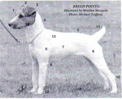 Jack Russell Terrier Breed Standards