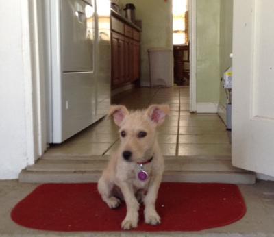 Lingie the Papillon Terrier
