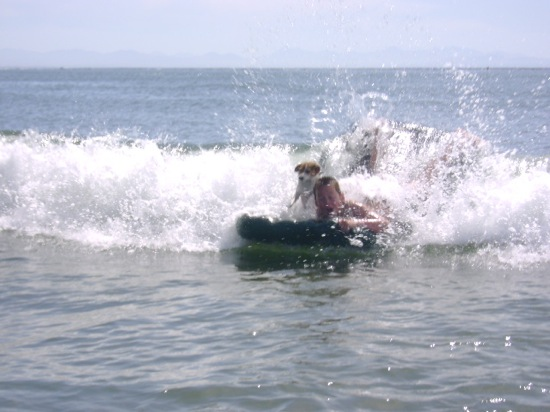Surfing Jack Russell Terrier Magnus