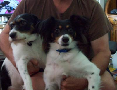 Beautiful Pair of Jack Russell Terriers