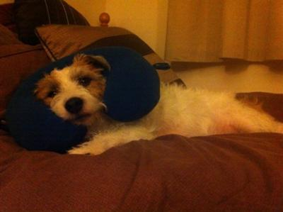 Harvey Wired Hair Jack Russell Terrier