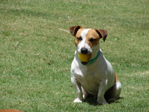Jack Russell Terrier Milo from South Africa