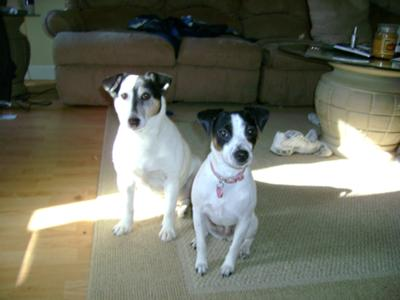 Molly and Lilly Jack Russell Terriers