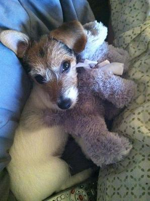 Molly May the Jack Russell