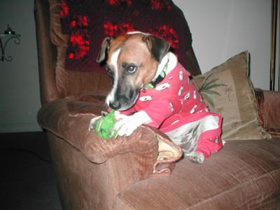 Elvis Jack Russell Terrier