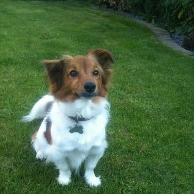 Jack Russell and Pappilion Mix?
