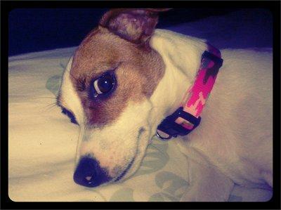 Jack Russell Terrier Marley Mae