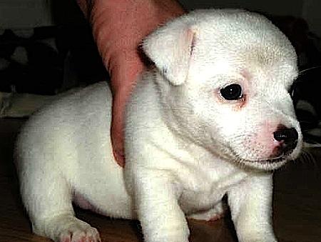 Jack Russell Puppy Nala