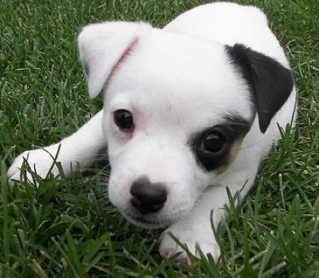 Jack Russell Terrier Nala