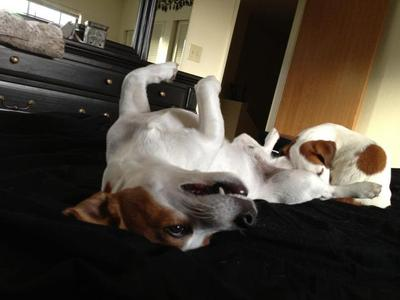 Jack Russell Terrier Brothers
