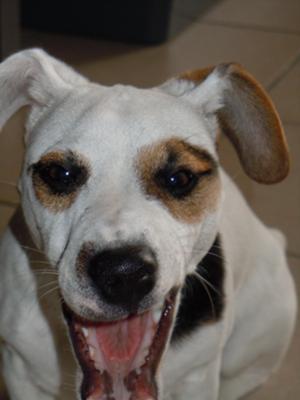 Meet Filou the Jack Russell Terrier