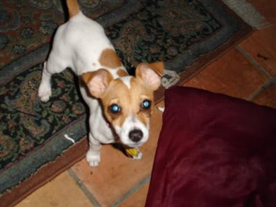 Jack Russell Piccola