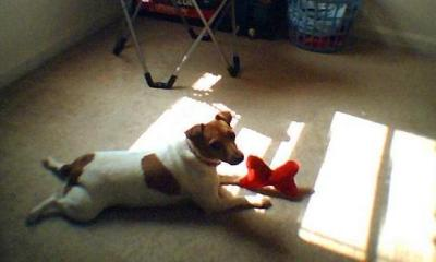 this is sugar playing with her toy