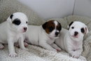 Jack Russell babies