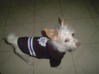 Our Jack Russell Terrier Hockey Player