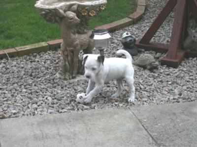 Riley Jack Russell playing football