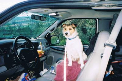Jack Russell Terrier Sadie