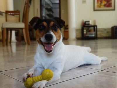 Rush the Jack Russell