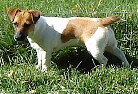 Shorty Jack Russell