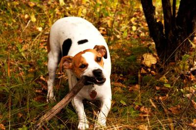 Sophie the Jack Russell
