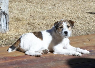 Tess Jack Russell Terrier