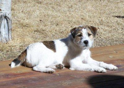 Tess Jack Russell Terrier