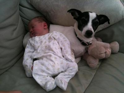 Babysitter Jack Russell