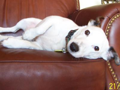 Jack Russell Terrier Thornton