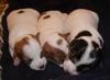 Livingston x Krest pups (Jazz, Elliott, Jackie)