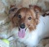 Jack Russell and Pippillion Mix