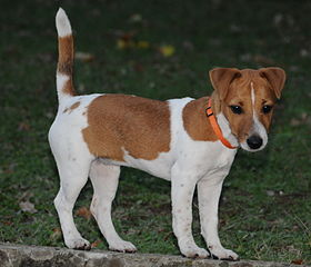 A Jack Russell That Urinates in the Home Could Benefit From Crate Training