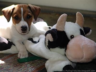Toby Joe and Mister Cow