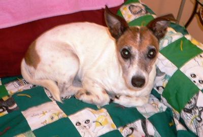 Jack Russell Terrrier Victoria