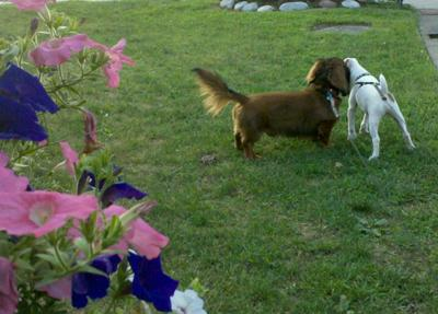 Best Friends Forever- Spanky (Doxie) and Buddy (JRT)