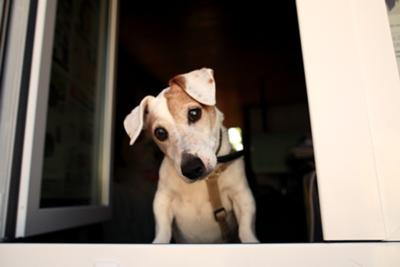 A Curious Jack Russell
