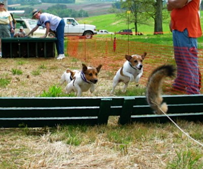 jack russell terrier behavior