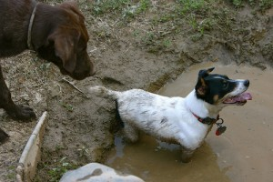 jack russell terrier barking