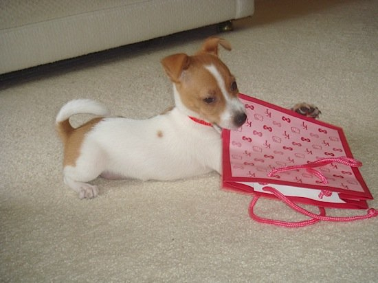 Jack Russell Puppy Brutus