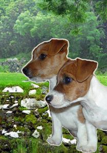 Connemara Terriers