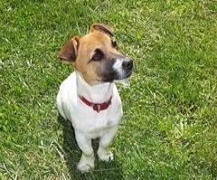 jack russell terrier care