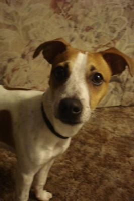 Jack Russell Terrier Picture of Dollar
