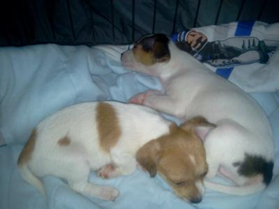 Jack Russell Terrier Brother and Sister
