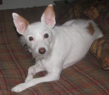 Sophia the Jack Russell Terrier