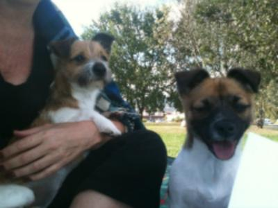 Jack Russell Crosses Mia and Pippa