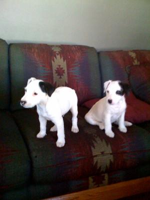 Jack Russell Puppies Watson and Jax