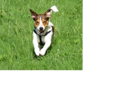 Jack Russell Terrier Photo of Lobo