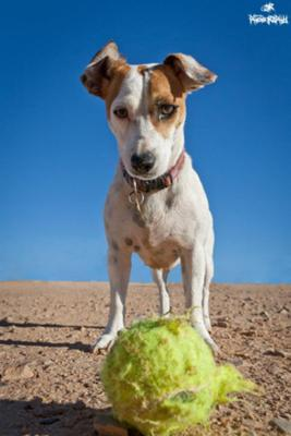 Marley the Jack Russell Terrier
