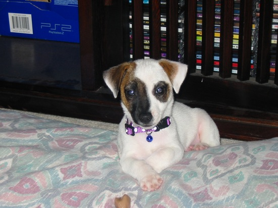 Jack Russell Puppy Max